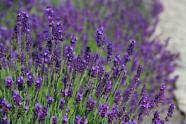 Kategorie Lavendel